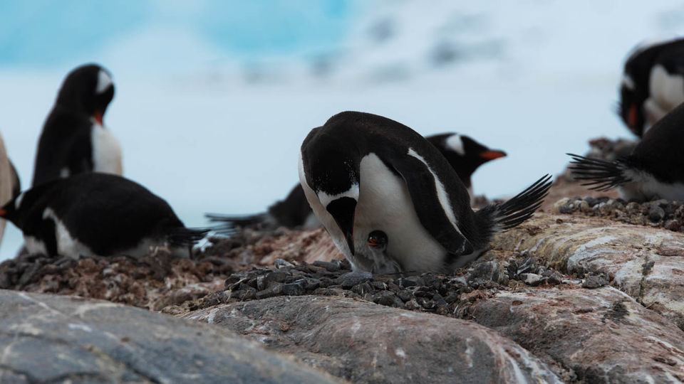 A penguin chick hatching